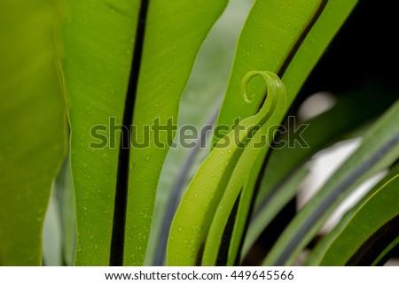 Bird's nest fern leave on natural light background. - stock photo