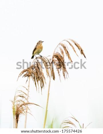 Bird sitting on reed. - stock photo