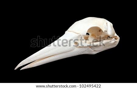 Bird skull of a big seabird, isolated on black - stock photo