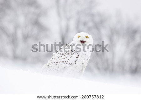 Bird snowy owl sitting on the snow, winter scene with snowflakes in wind. - stock photo