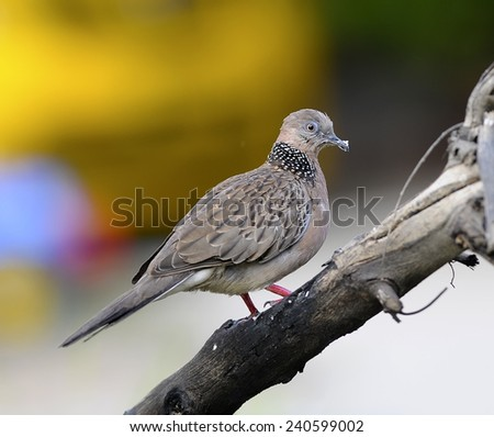 Bird Spotted Dove (Streptopelia chinensis), Thailand on a branch, in nature - stock photo