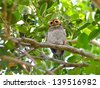 Bird (Spotted Wood Owl),Thailand  - stock photo