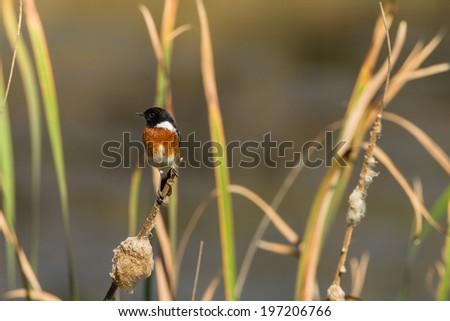 Bird Stonechat Reeds Wetland Stonechat bird species perched on water reeds in habit wilderness wetland reserve. - stock photo