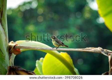 Bird Sunbird on banana tree behind my house.