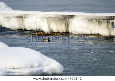 Bird swimming in frozen water