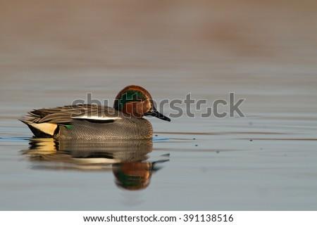 Bird - Teal (Anas crecca) swimming in sunrise - stock photo