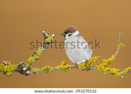 Bird - Tree Sparrow (Passer montanus) on orange background. Bird sitting on a branch next to the feeder. Winter time. - stock photo