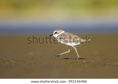 bird walking Kentish Plover / Charadrius alexandrinus - stock photo