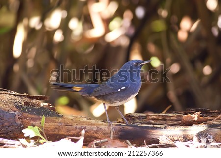 Bird,White-bellied Redstart (Hodgsonius phoenicuroides)  - stock photo