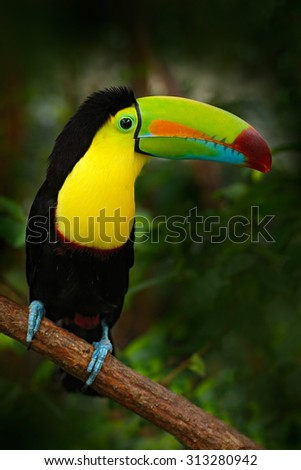 Bird with big bill Keel-billed Toucan, Ramphastos sulfuratus, sitting on the branch in the forest, Mexico - stock photo