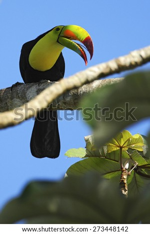 Bird with big bill Keel-billed Toucan, Ramphastos sulfuratus, sitting on the branch with blue sky, Mexico - stock photo
