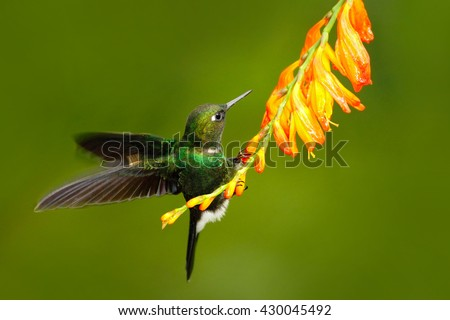 Bird with orange flower. Flying hummingbird, Hummingbird in fly. Action scene with hummingbird. Hummingbird Tourmaline Sunangel eating nectar from beautiful yellow flower in Ecuador. Hummingbird.  - stock photo