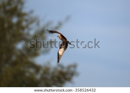 Bird, Young Brahminy kite, Red-backed sea-eagle at the nature of southern Thailand. - stock photo