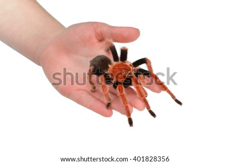Birdeater tarantula spider Brachypelma boehmei held in hand isolated over white. Bright red colourful giant arachnid. - stock photo