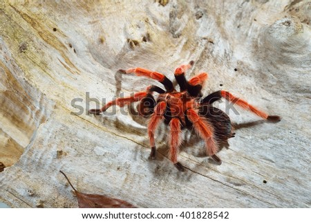 Birdeater tarantula spider Brachypelma boehmei in natural forest environment. Bright red colourful giant arachnid. - stock photo