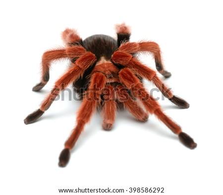 Birdeater tarantula spider Brachypelma boehmei isolated over white. Bright red colourful giant arachnid. - stock photo