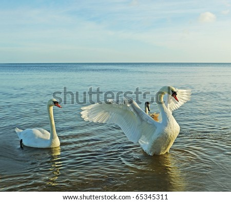 Birds above sea, big swan protection his child. - stock photo