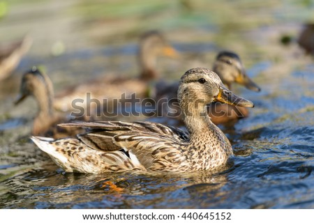 Birds and animals in wildlife. Amazing mallard duck family view of mother duck swimming with her baby ducklings in clear blue water of river at the middle of sunny summer day. - stock photo