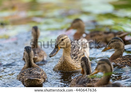 Birds and animals in wildlife. Closeup perspective of mallard mother duck with ducklings swimming and playing in blue water in the middle sunny summer day. - stock photo