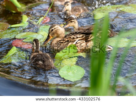 Birds and animals in wildlife. Landscape of beautiful family of mallard mother duck with baby ducklings swim and play in park river with crystal blue water. - stock photo