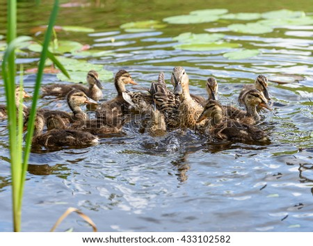 Birds and animals in wildlife. Landscape of beautiful family of mallard mother duck with baby ducklings swim and play in park river with crystal blue water. Awesome wild animals and plants background. - stock photo