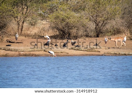 Birds and crocodiles on the bank of a dam with impala approaching - stock photo
