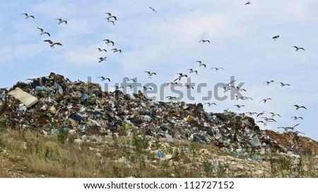 Birds and pollution Description: The seagulls on landfill - stock photo