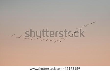 Birds flying in V formation - stock photo
