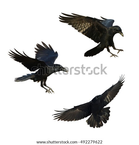 Birds - mix flying Common Ravens (Corvus corax) isolated on white background. Halloween - mix three birds