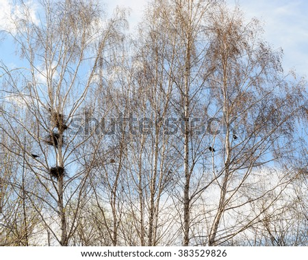 Birds nests of crows in the branches of birch trees. - stock photo