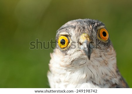 Birds of Europe - Sparrow-hawk (Accipiter nisus). Emotion concept - Astonishment. - stock photo
