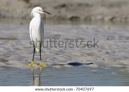 Birds of Florida (Snowy Egret) - stock photo