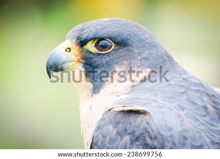 Birds of prey. Close-up of an Peregrine Falcon - stock photo