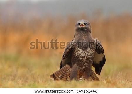 Birds of prey - Common Buzzard - Buteo buteo - stock photo