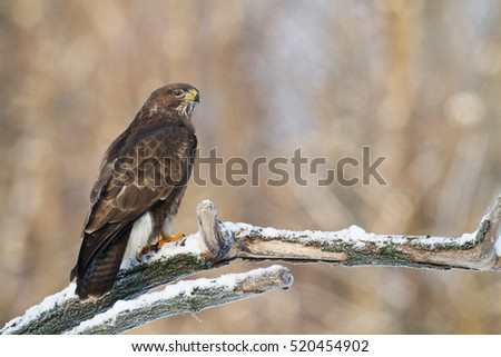 Birds of prey - Common Buzzard (Buteo buteo), winter. Hunting time, searching something to eat