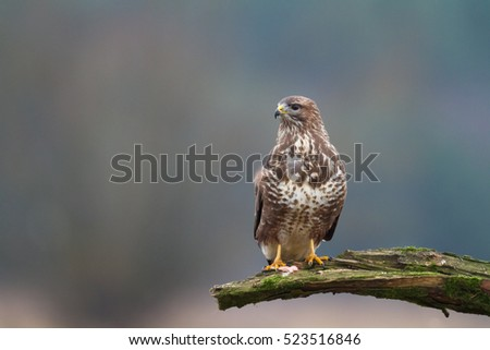 Birds of prey - Common Buzzard (Buteo buteo), winter. Hunting time, searching something to eat.