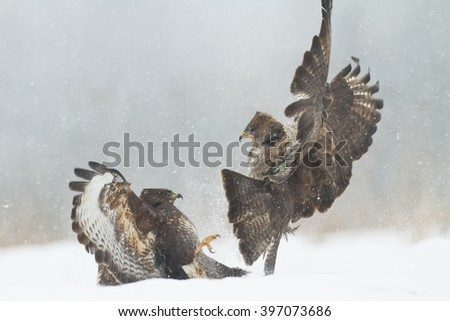 Birds of prey - fighting Common Buzzard (Buteo buteo). Winter time, snowstorm. Hunting time, searching something to eat.
