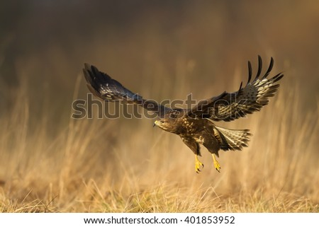 Birds of prey - flying Common Buzzard (Buteo buteo), autumn. Hunting time, searching something to eat. - stock photo