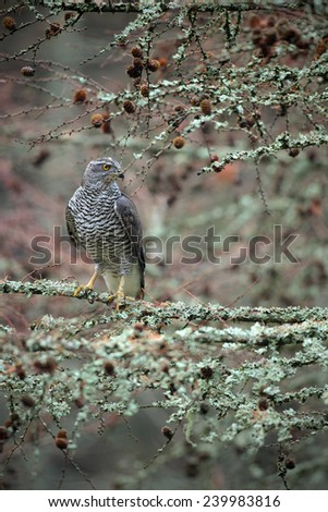 Birds of prey Goshawk sitting on the branch in the fallen larch forest during autumn - stock photo