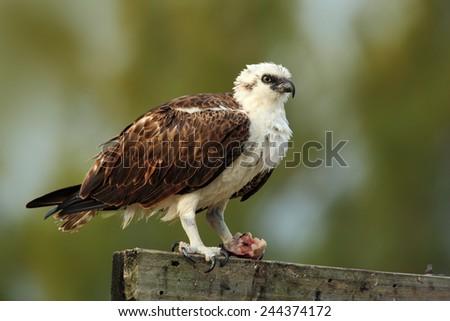 Birds of prey Osprey, Pandion haliaetus, with kill fish, eating food, Caye Caulker, Belize - stock photo