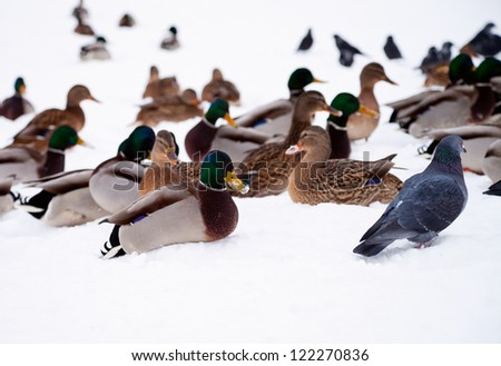 Birds  on snow in a park - stock photo