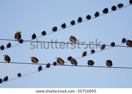 Birds on telephone lines, gathered in large groups