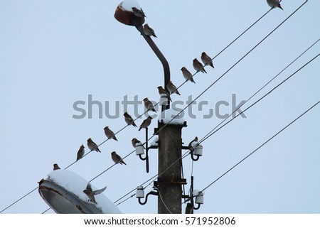 birds on the wires, flock of beautiful waxwings birds sitting on the wires near the pole and the old lamp