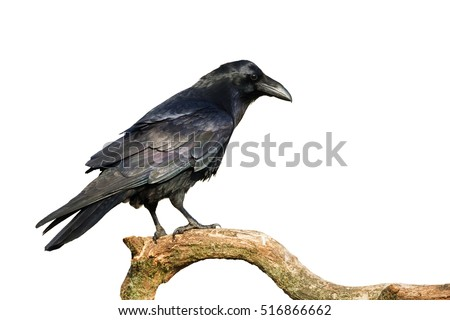 Birds - perched Common Raven (Corvus corax) isolated on white background. Halloween