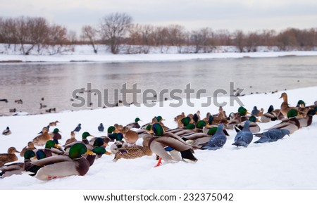 Birds resting on the river in the winter, Moscow, Russia  - stock photo