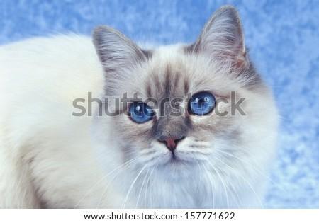 birman cat - stock photo