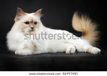 Birman cat isolated on black background - stock photo