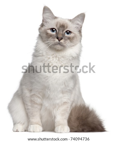 Birman cat, 9 months old, sitting in front of white background - stock photo