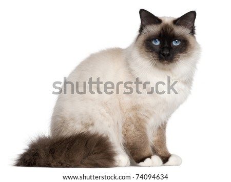 Birman cat, 1 year old, sitting in front of white background - stock photo