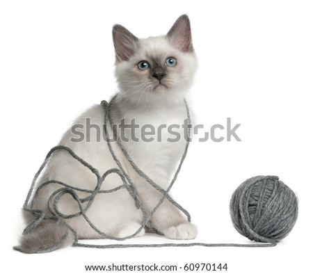 Birman Kitten, 2 months old, playing with a ball of yarn in front of white background - stock photo